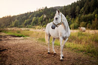 White arabian horse standing on farm ground, blurred meadow and forest background