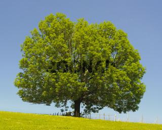 Esche Einzelbaum