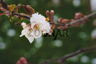 Detail of plum blossoms covered with snow and ice, which is a risk for crop failure, Austria
