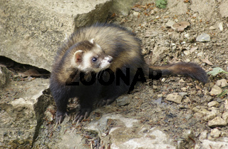 Ferret in stony back