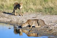 Geparde beim Trinken im Etosha-Nationalpark, Namibia; drinking cheetahs at Etosha National Park, Namibia, Acinonyx jubatus