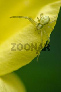 flower agelenidae tegenaria gigantea