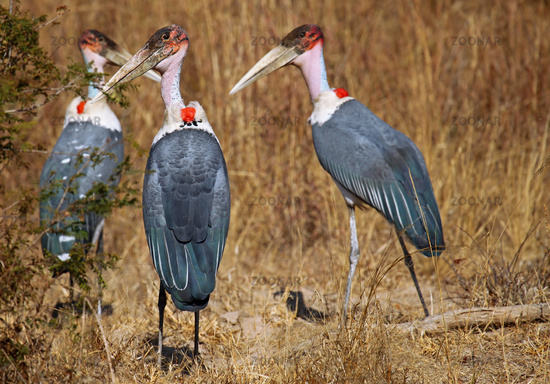 Marabus, wildlife im Kafue-Nationalpark, Sambia, marabous in Zambia, Leptoptilos crumeniferus