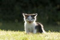 Katze, Kaetzchen lachend im Gegenlicht, Cat, kitten laughing in the back light
