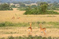 Pride of lions, Queen Elizabeth National Park, Uganda