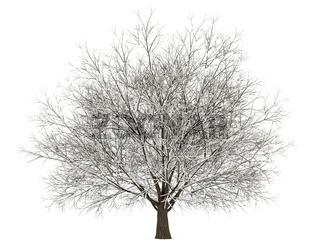 winter hornbeam tree isolated on white background