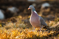Adult common wood pigeon, columba palumbus, standing on the dry grass with rocks