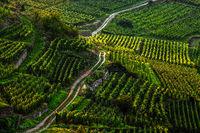 Weg durch den Weinberg im Elsass