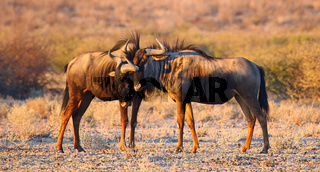Streifengnus im Morgenlicht, blue wildebeests, Connochaetes taurinus, Central Kalahari, Botswana, Botsuana