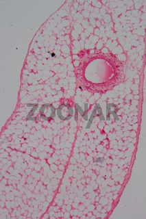 micrograph of blood vessel, artery and vein