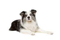 old blue merle border collie dog