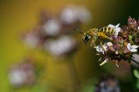 Goldglänzende Furchenbiene auf Dost