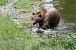 Braunbär kommt aus dem Wasser