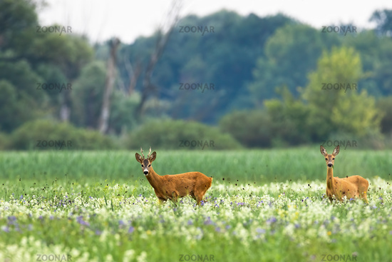 Couple of roe deer walking on blooming meadow in summer
