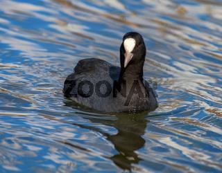 Coot (Fulica atra) swims