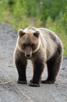 Full-length portrait of terrible hungry Kamchatka brown bear looking at camera