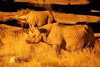 Spitzmaulnashorn am Wasserloch in der Nacht, Etosha-Nationalpark, Namibia, (Diceros bicornis) | Black rhino at night, Etosha National Park, Namibia, (Diceros bicornis)