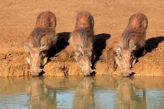 Warthogs drinking