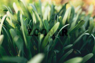 Small fresh green garlic leaves with macro effect