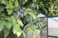 Plums in tree in the garden