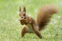 Eichhörnchen posiert als Boxer