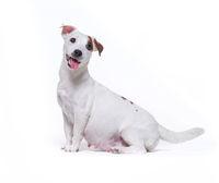 Little white pregnant jack russell terrier dog