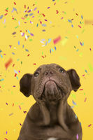 Portrait of a Old english bulldog puppy looking up on a yellow background with confetti in a vertical image