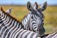Zebra, Steppenzebra, Etosha, Namibia | Plains Zebra, Etosha NP, Namibia