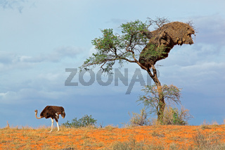 Ostrich and Acacia tree