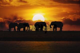 Evening silhouette over sunset of African Elephant, Botswana. Africa safari wildlife