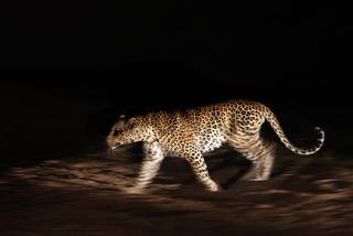 Leopard at night - Leopard im Scheinwerferlicht