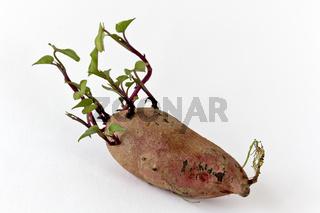 Süßkartoffelknolle - Ipomoea Batata