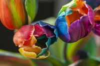Nahaufnahme von Tulpen