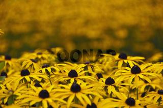 Gewöhnlicher oder Leuchtender Sonnenhut (Rudbeckia fulgida)