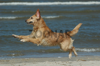 Golden-Retriever spielt am Strand