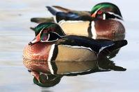 Wood Duck, Albuquerque New Mexico USA