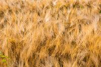 Wheat field close up of golden steems growing in sun