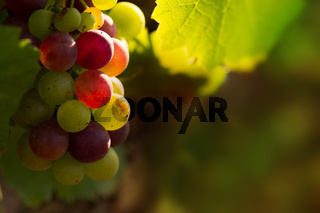 Red grapes in sunset light