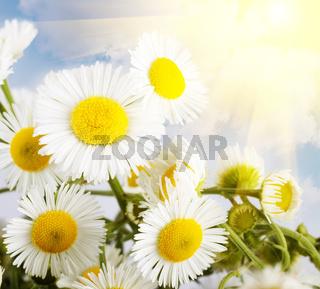 flower chamomile