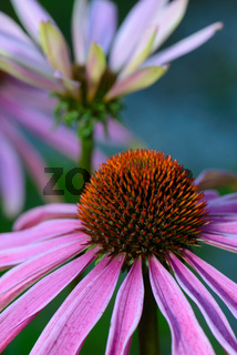 Echinacea Coneflower - Sonnenhut