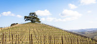 Barolo and Barbaresco countryside in Piedmont region, Italy. Vineyard with grapes cultivation for red wine. Unesco site.