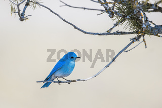 Mountain bluebird perched on twig.