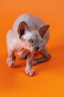 Graceful hairless bicolor female kitten 4 months old on orange background rises on paws looking away