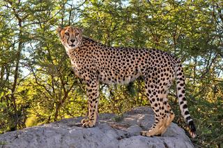 Gepard im Etosha-Nationalpark, Namibia; cheetah at Etosha National Park, Namibia, Acinonyx jubatus
