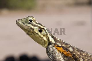 Siedleragame Weibchen, Namibia