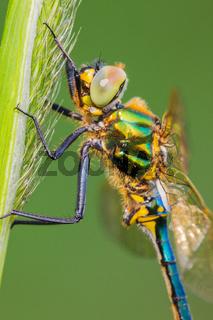 Glänzende Smaragdlibelle