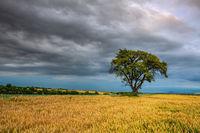 Lonely tree in wheat field before heavy stor, Czech Republic