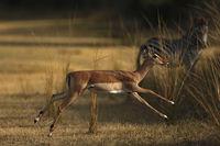 Impala Antilope im Sprung, Sambia