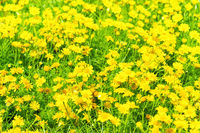 Beautiful yellow flowers on green field