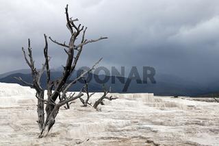 Tote Bäume auf der trocknen Terasse in Mammoth Hot Springs - Yellowstone